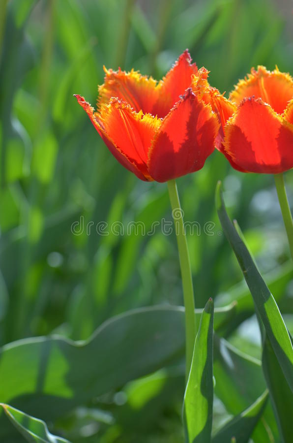 orange Tulpe lizenzfreies stockfoto