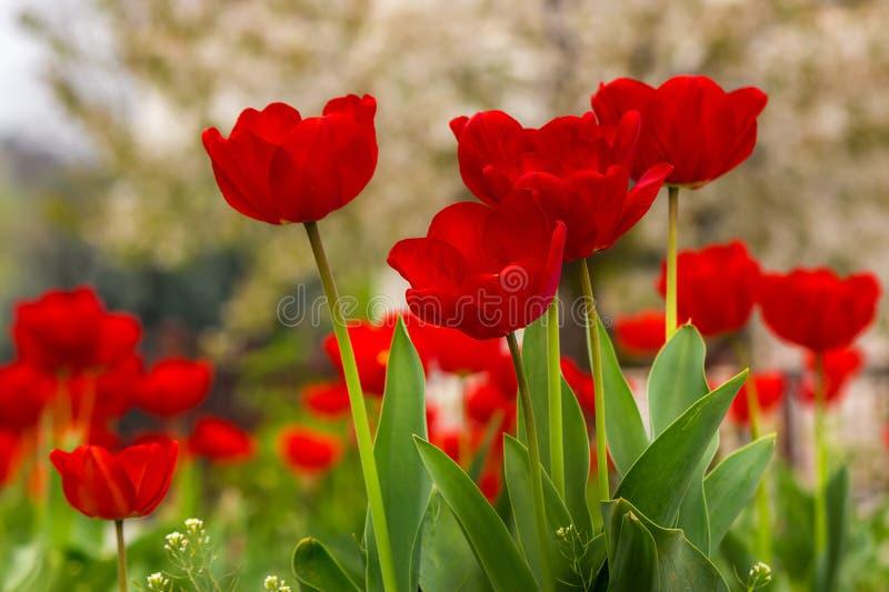 Orange Tulpe auf Farbe unscharfem Hintergrund lizenzfreie stockfotografie
