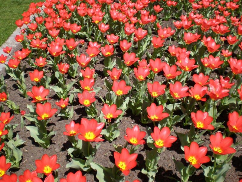 Download Orange Tulpen stockbild. Bild von tulpe, bett, festivals - 27726701