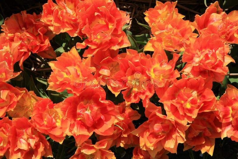Orange Tulpen - Blume lizenzfreies stockbild