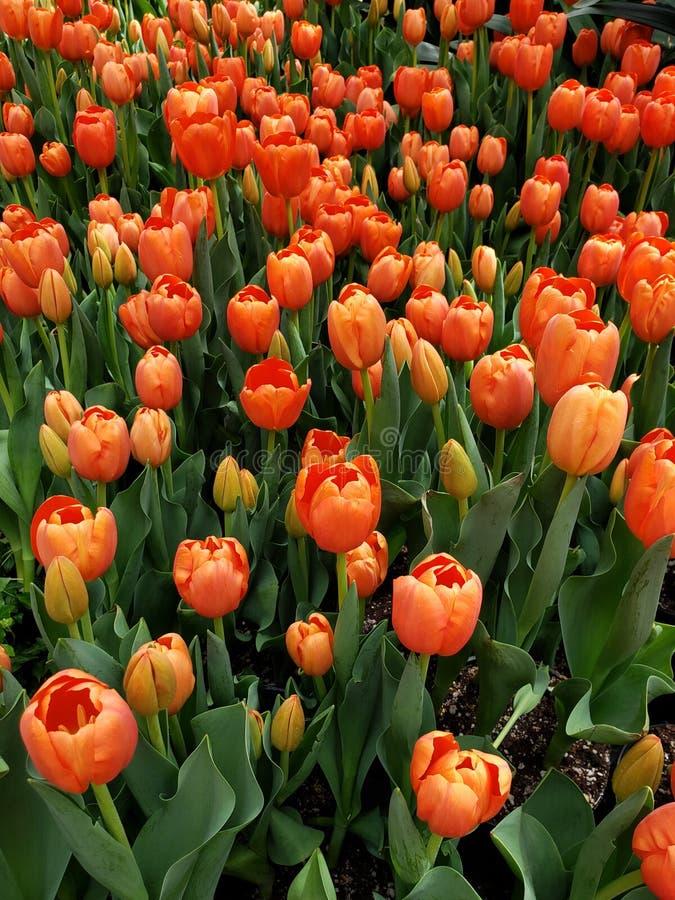 orange Tulpenblume in einem botanischen Garten lizenzfreies stockfoto