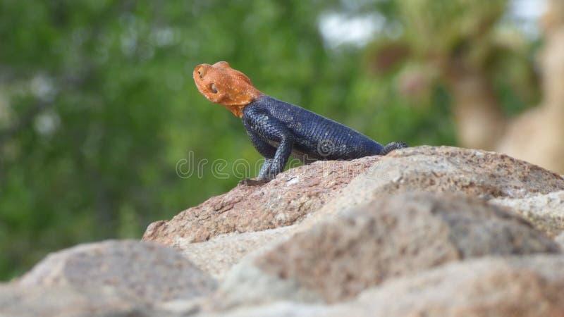 Orange und blaue Eidechse auf einem Felsen lizenzfreies stockbild