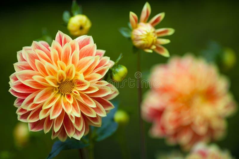 Orange und gelbe Blumen der Dahlie in der Nahaufnahme der vollen Blüte des Gartens lizenzfreies stockfoto