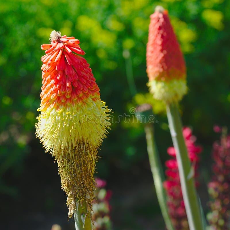 Orange und gelbe Blumen von Kniphofia uvaria, Liliaceae stockbilder