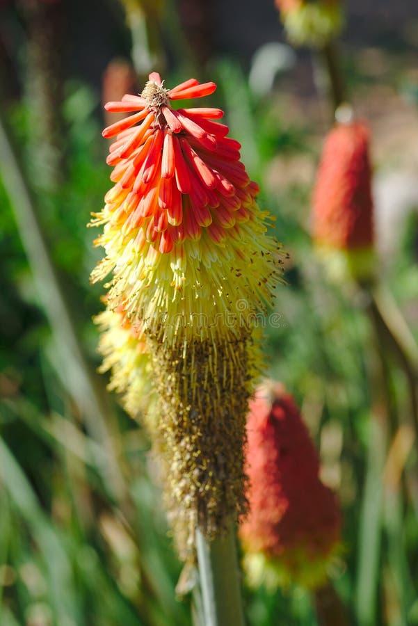 Orange und gelbe Blumen von Kniphofia uvaria, Liliaceae lizenzfreies stockfoto