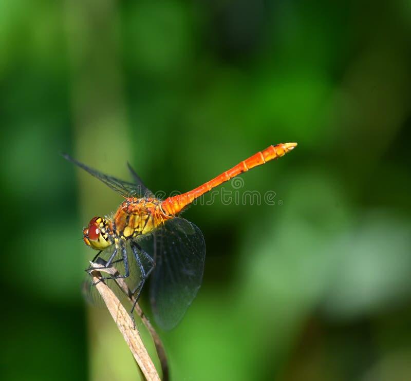 Orange und gelbe Libelle, die auf dem Gras stillsteht stockfotos