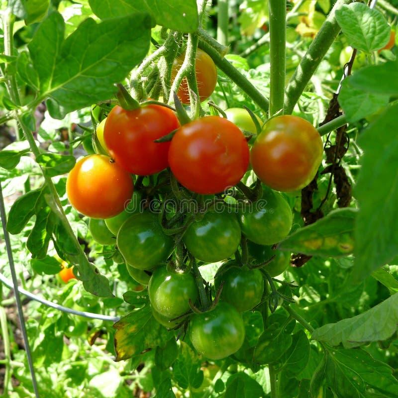 Orange und grüne Trauben-Tomaten lizenzfreie stockfotografie