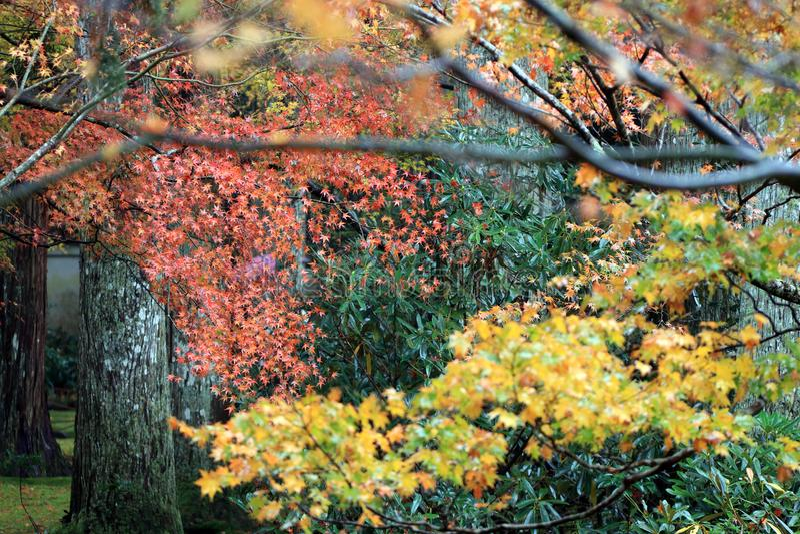 Orange und rotes japanisches Ahornblatt auf dem Baum nach Regen und fokussieren heraus grünes und gelbes japanisches Ahornblatt i stockfotografie