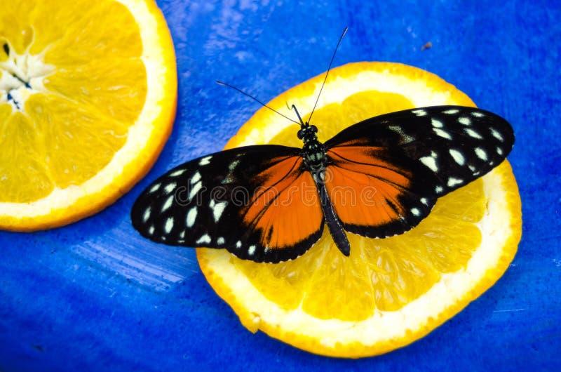 Orange und schwarz, Tiger Longwing Heliconius-hecale Schmetterling lizenzfreies stockfoto