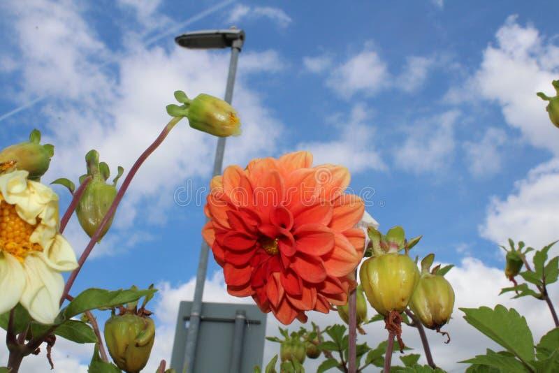 Orange Und Weiße Blumen Gepflanzt In Altem Kohle LKW Mit Blauem ...