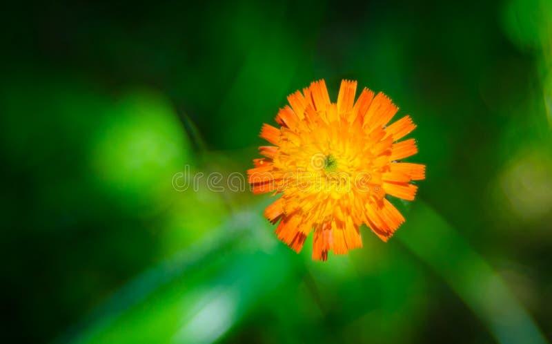 Orange Unkrautblume, Hawkweed, der Klasse Hieracium lizenzfreie stockfotografie
