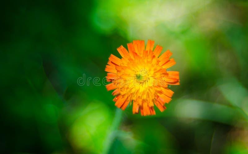 Orange Unkrautblume, Hawkweed, der Klasse Hieracium lizenzfreies stockbild