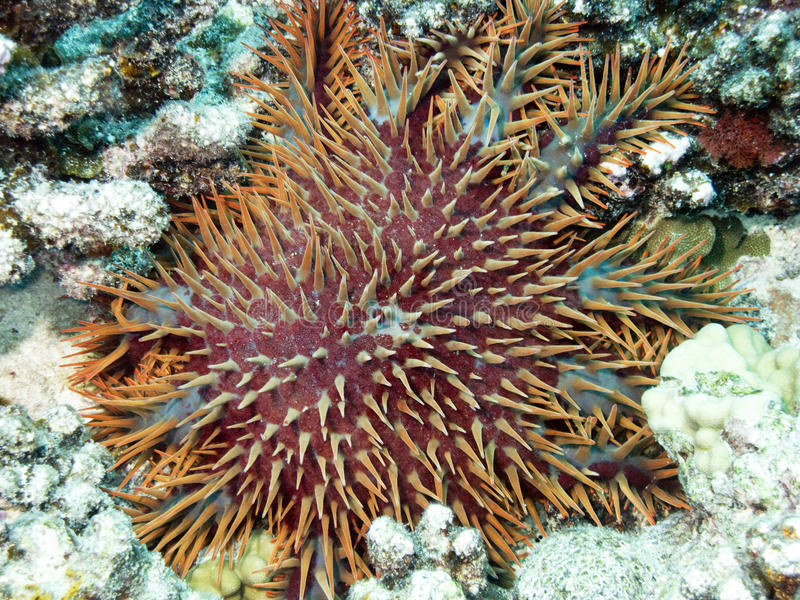 Download Orange urchin stock photo. Image of mathaei, riccio, snorkeling - 9823048