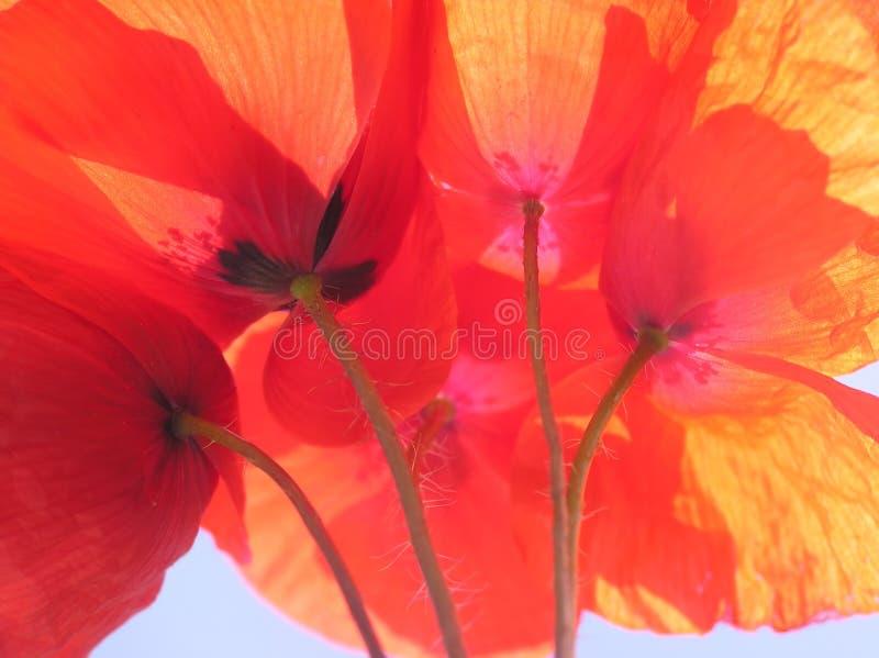 orange vallmo arkivfoton