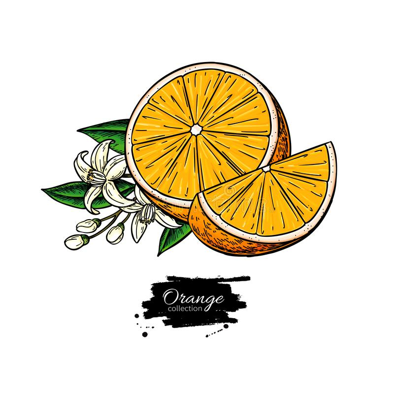 Orange vector drawing. Summer fruit illustration. Isolated hand drawn orange slice and flower bloom. royalty free illustration