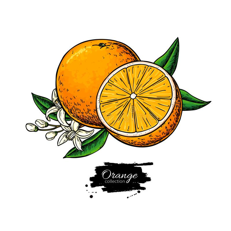 Orange vector drawing. Summer fruit illustration. Isolated hand drawn orange slice and flower bloom. stock illustration