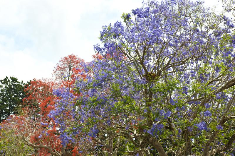Orange and violet flowering trees - Jacaranda tree royalty free stock images
