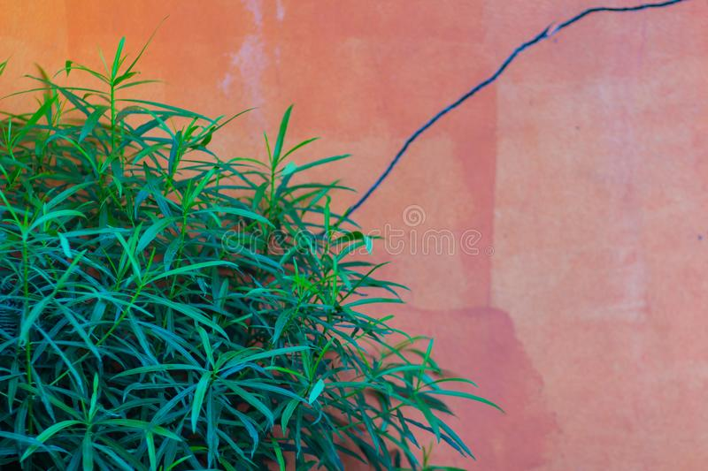 Orange wall with green leaves background. Green leaf on the orange cement wall with copy space for text. royalty free stock photos