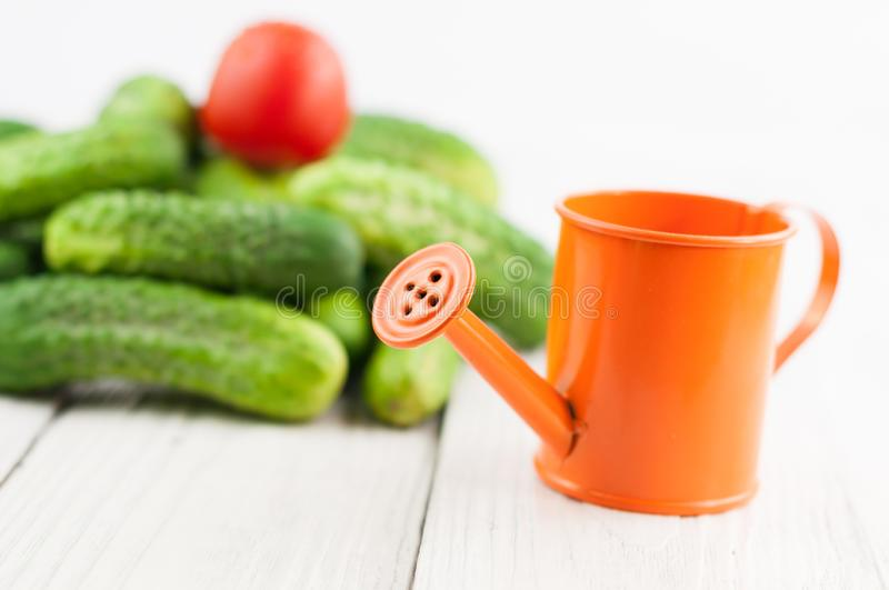 Orange watering can and heap of fresh green cucumbers and single red tomato on white planks. Orange watering can and heap of fresh green cucumbers and single red royalty free stock photos