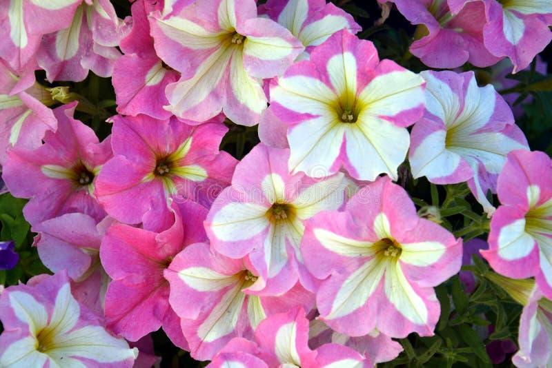 Orange, Weiße Blumen Des Rosas, Hintergrund Stockbild - Bild von ...