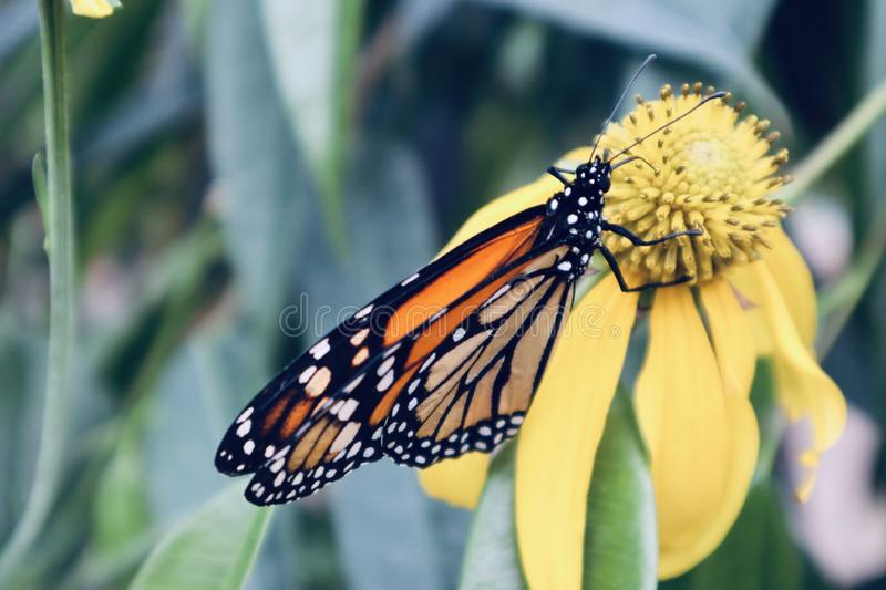 Butterfly on a yellow flower stock image