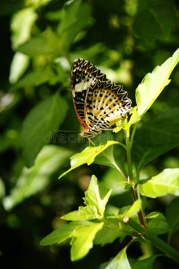 Orange white black colorful butterfly resting on green leaves. Orange white black colorful butterfly resting on green leaves in the sun royalty free stock photography