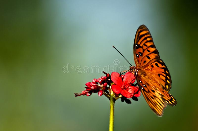 An orange, white and black gulf fritillary Agraulis vanillae b. Utterfly perched on a red jatropha bloom with a soft green background stock images