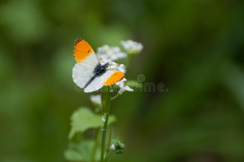 An orange and white butterfly Anthocharis cardamines. Searching for nectar stock image