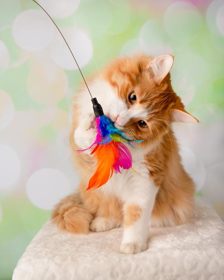 Orange and White Cat Playing with a Feather Toy royalty free stock photos