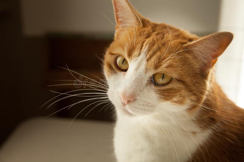 Close up orange and white tabby kitty lots of whiskers and big cat eyes stock photo