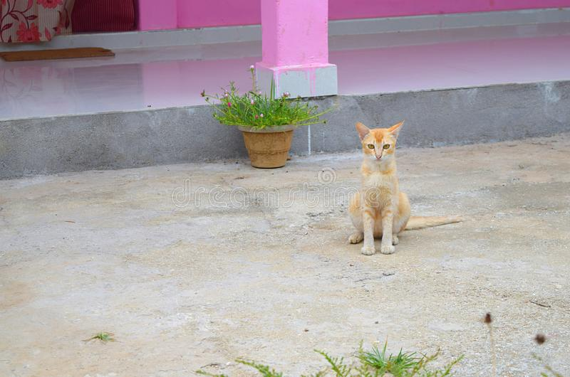 An Orange White Domestic Cat on Floor with Pink Home in Background in an Indian Village stock image
