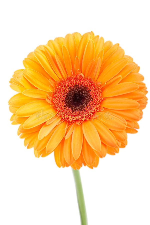 orange white för gerber royaltyfria foton