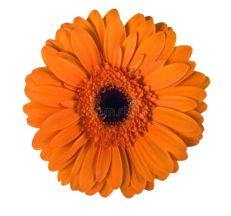 orange white för gerbera royaltyfri foto