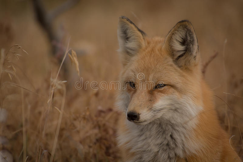 Orange And White Fox Near Brown Grass Free Public Domain Cc0 Image