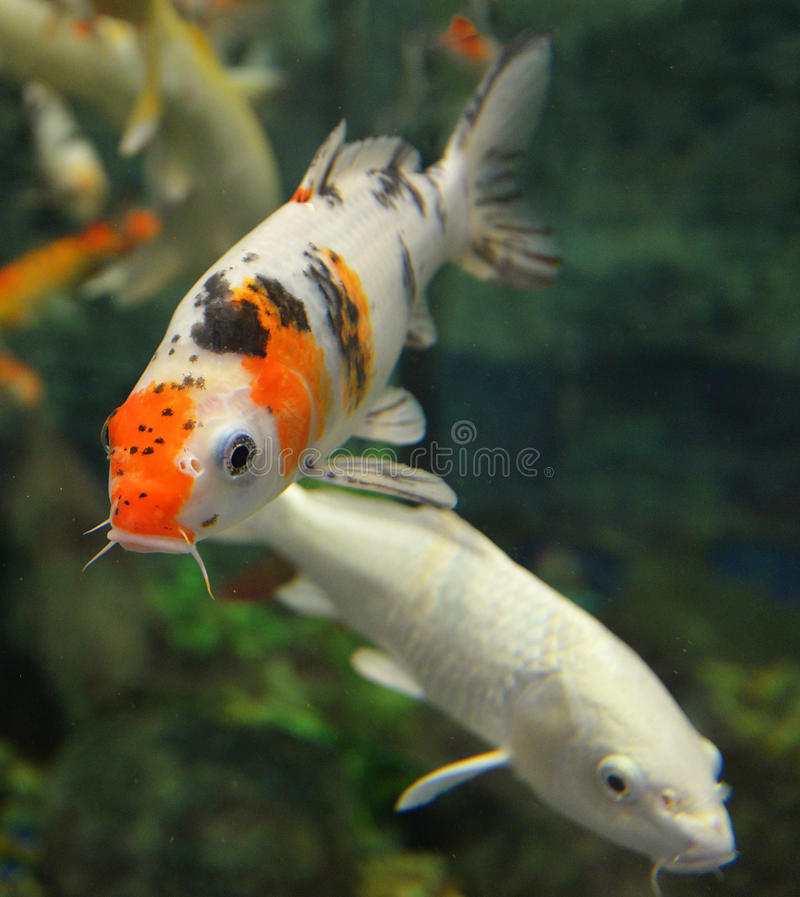 Orange white koi carp stock image image of pond orange for Orange coy fish