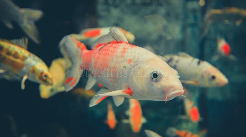 Orange white koi carp stock photo image 65275053 for Carpe koi orange