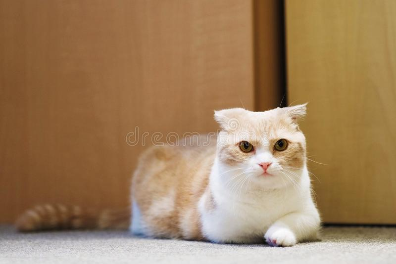 short legs Little cute cat royalty free stock image