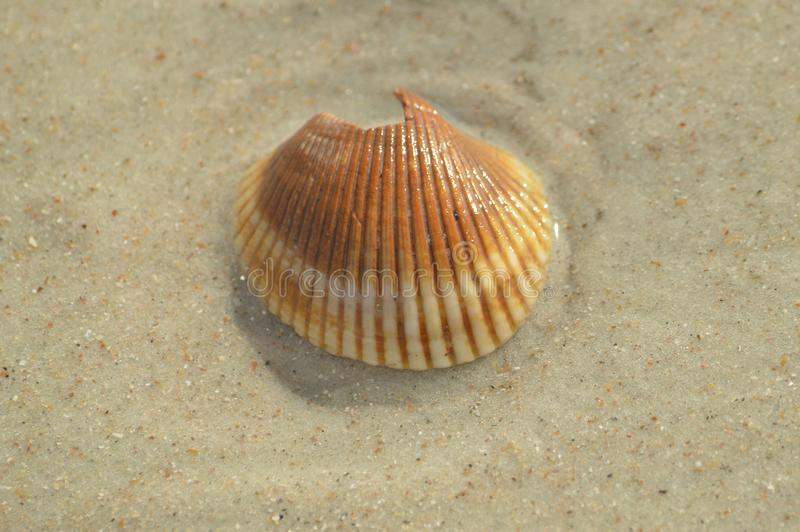 Orange and White sea shell. Broken Orange and white sea shell found at the beach royalty free stock photos