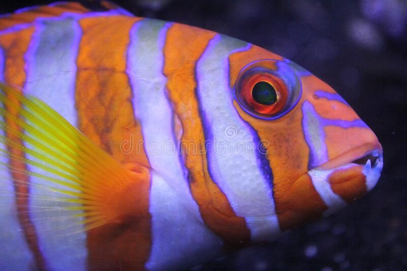 Orange and White Striped Fish stock photography