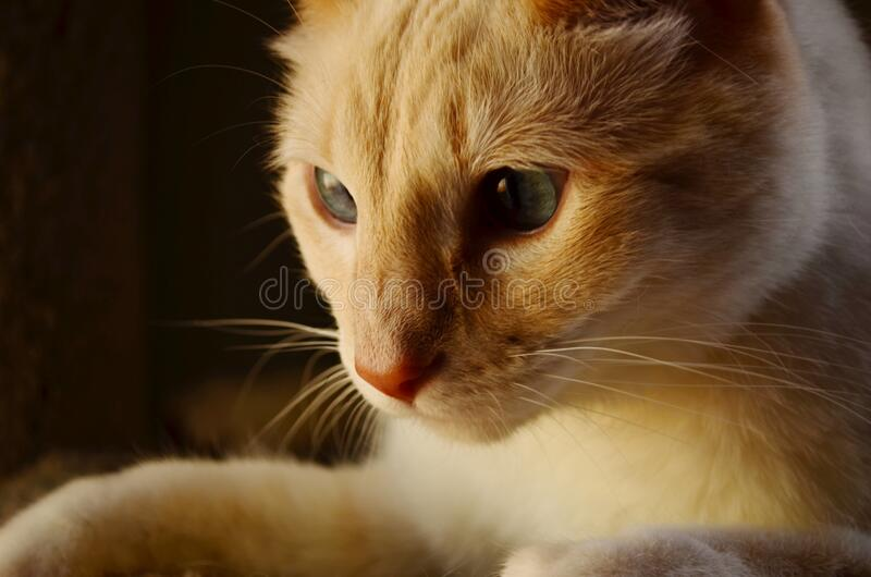 Orange and White Tabby Cat royalty free stock image