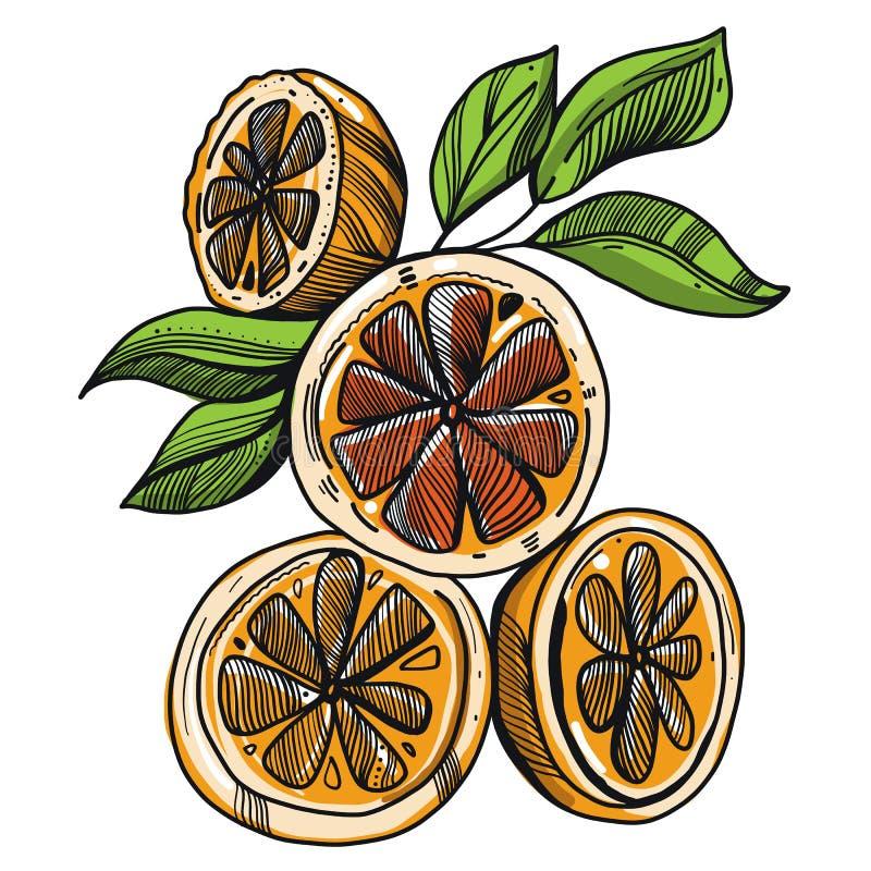 Orange whole and slices of oranges. Vector illustration isolated. On white background royalty free illustration