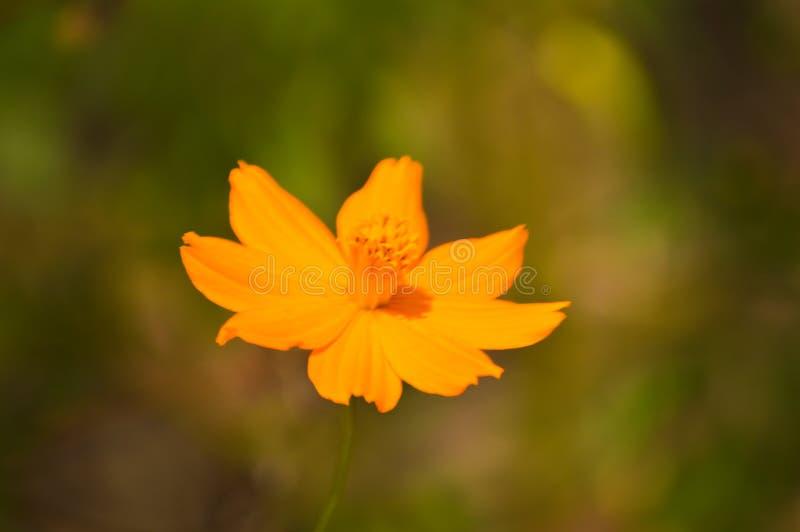 Orange Wild Flower Papaver Atlanticum close up picture image stock photography
