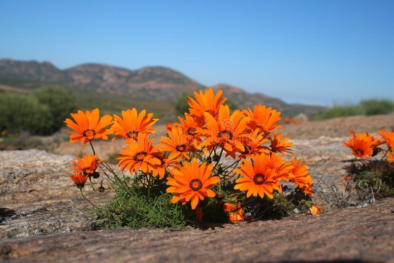 Orange wild flowers stock images
