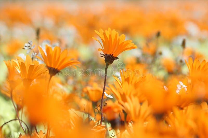 Orange wild flowers royalty free stock photos