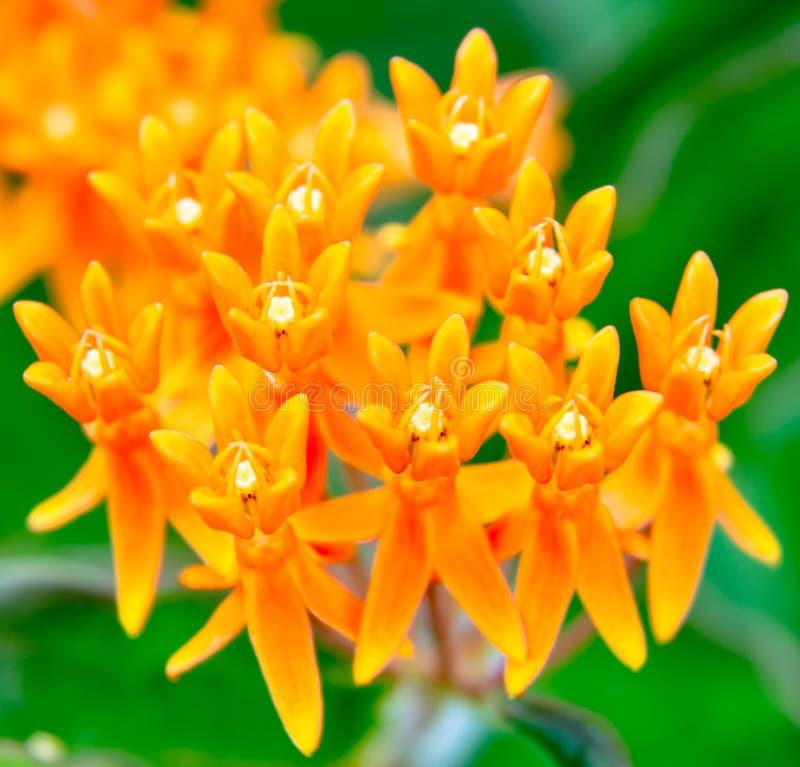 Orange wilde Blütentraube-Miniaturblütentrauben stockbild