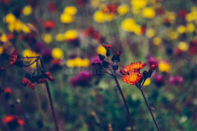 Orange wildflower standing out in a blurred field of wild flowers royalty free stock image