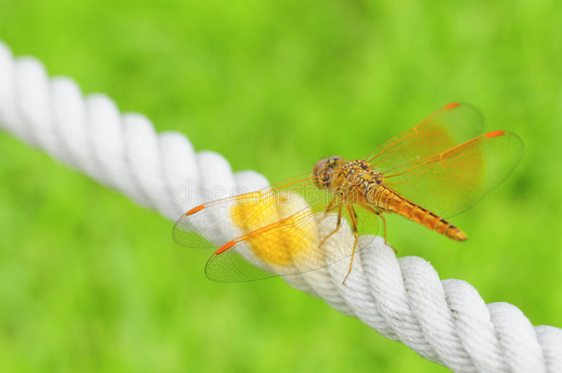 Download Orange wing of dragonfly stock photo. Image of transparent - 18689774