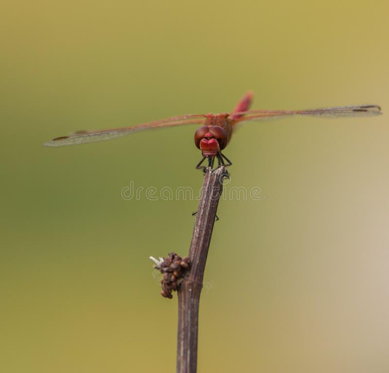 Orange-winged Dropwing on stick stock image