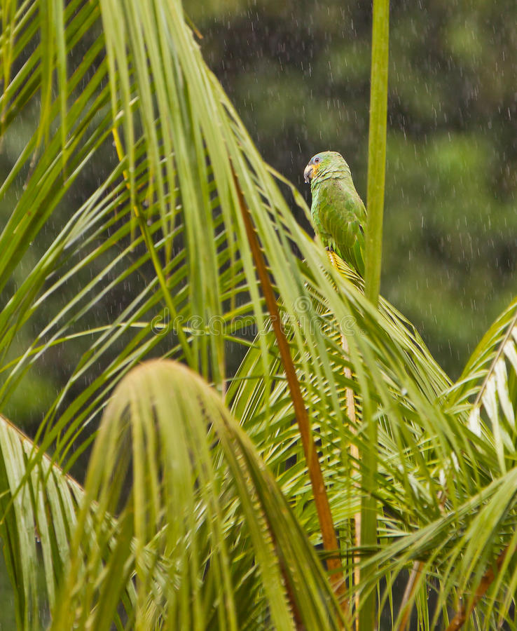 Download Orange-winged Parrot Under Rain Royalty Free Stock Photos - Image: 26062988