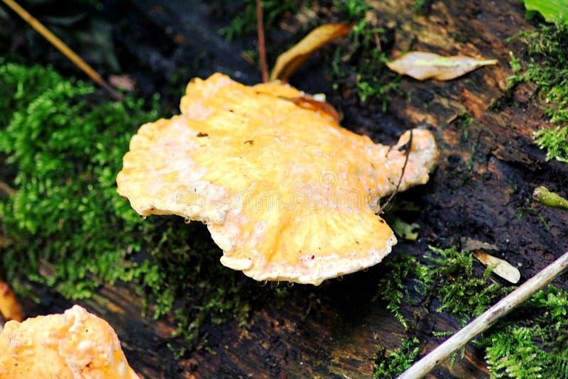 Orange wood fungus royalty free stock image